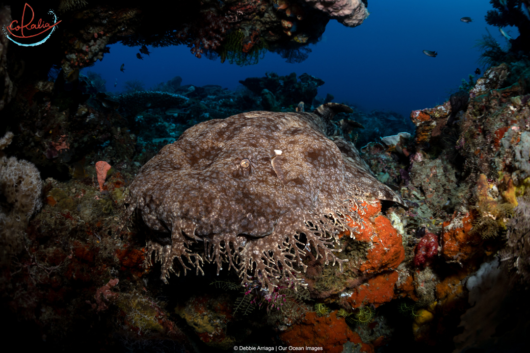 an adult-size wobbegong shark resting between corals in Raja Ampat