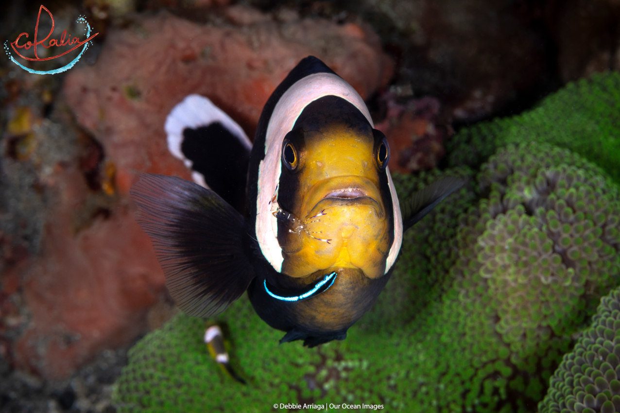 Anemone fish at a cleaning station in Raja Ampat with Coralia Liveaboard in Indonesia