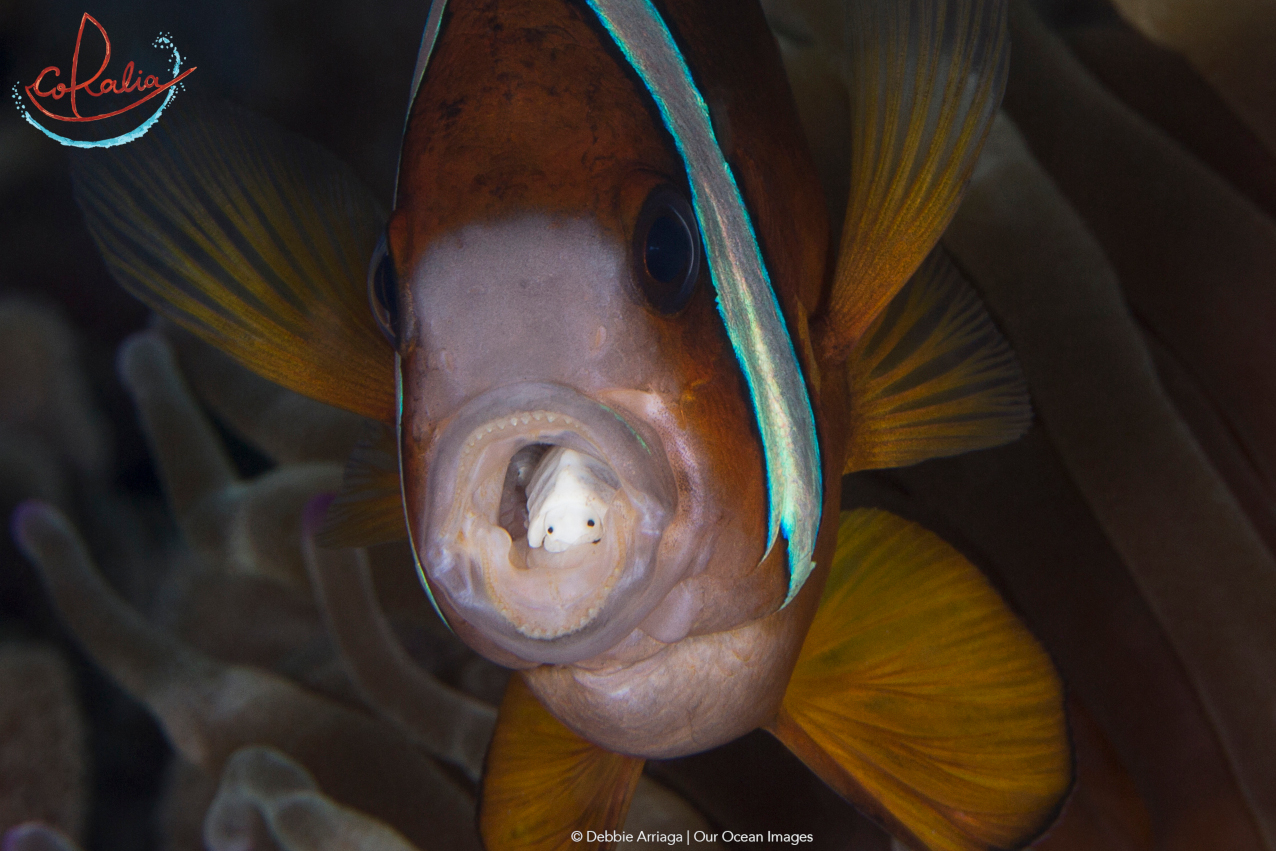 a tongue biter in the open mouth of an anemone fish as example for one of the many wonderful critters in Indonesia