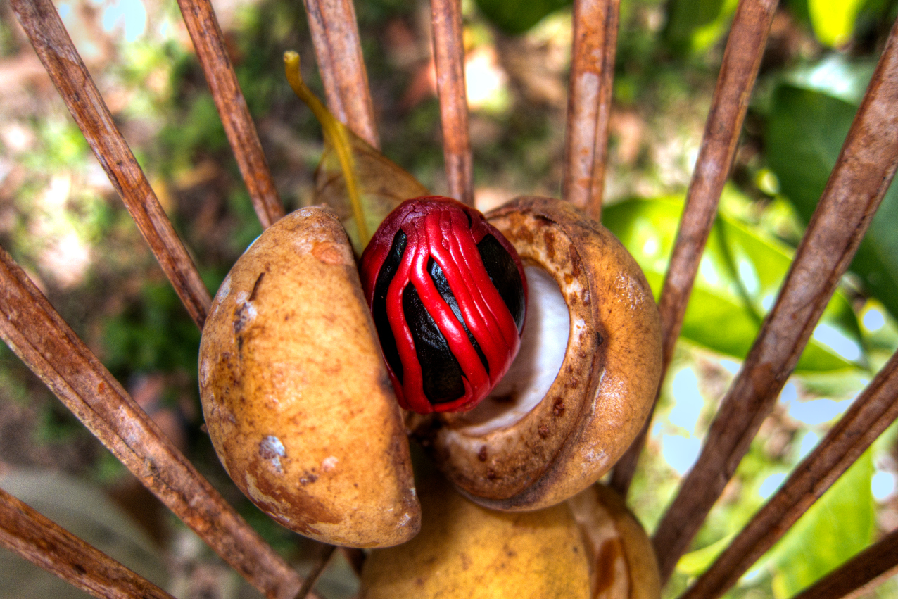 Fresh nutmeg on the Spice Islands with Coralia Liveaboard in Indonesia