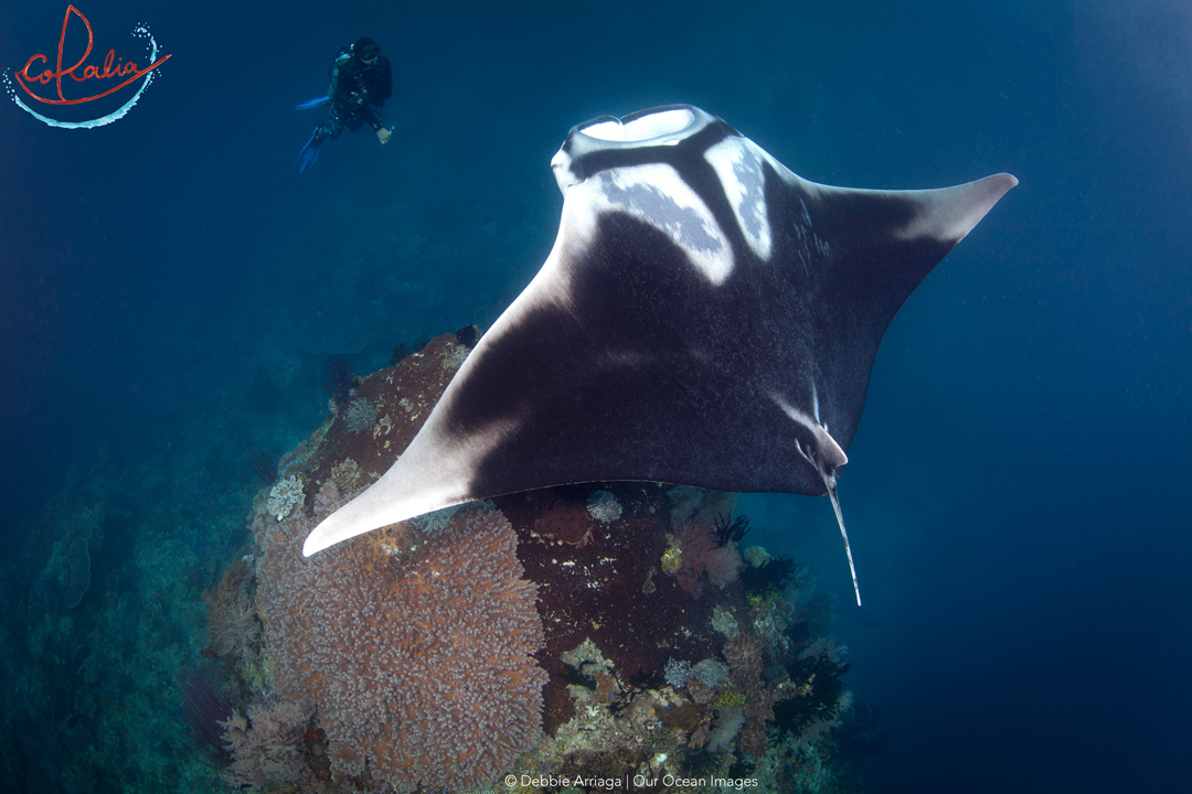 Giant manta ray with diver in Raja Ampat with Coralia Liveaboard in Indonesia