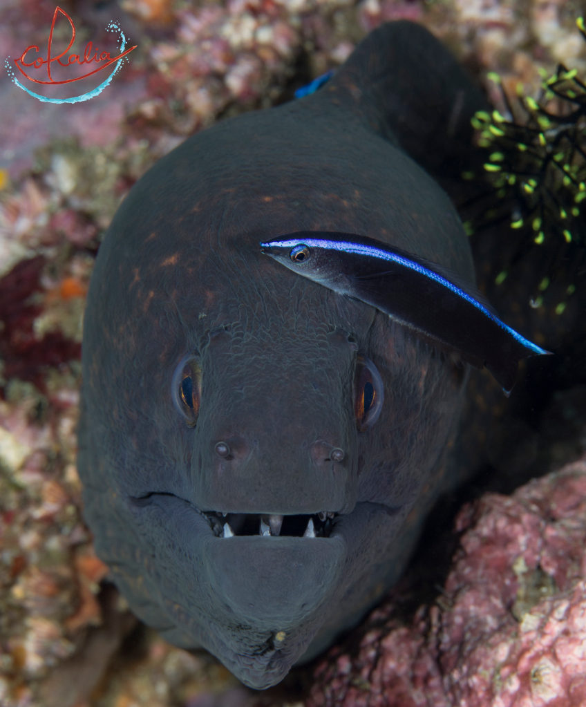 Giant moray eel at a cleaning station in Komodo with Coralia Liveaboard in Indonesia