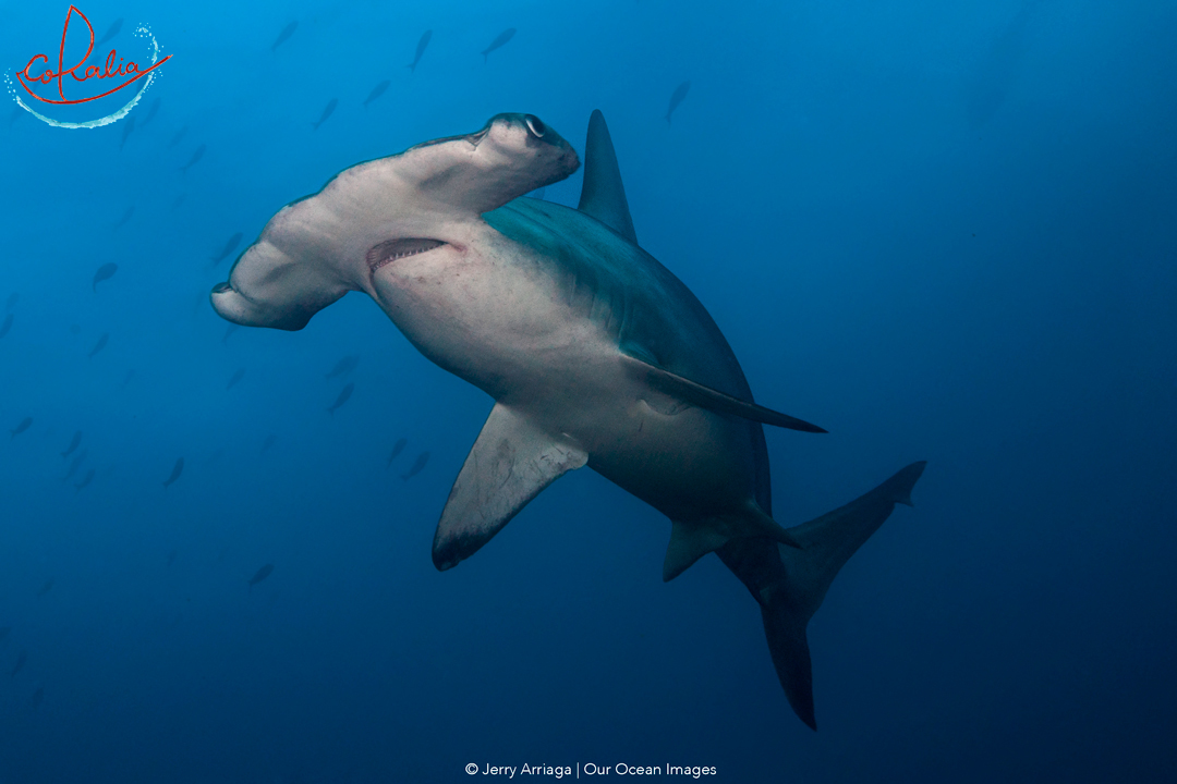 Hammerhead shark in the Banda Sea with Coralia Liveaboard in Indonesia