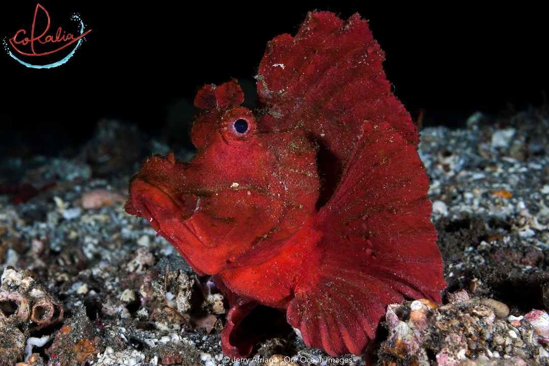 a dark red Rhinopias sitting on rubble ground