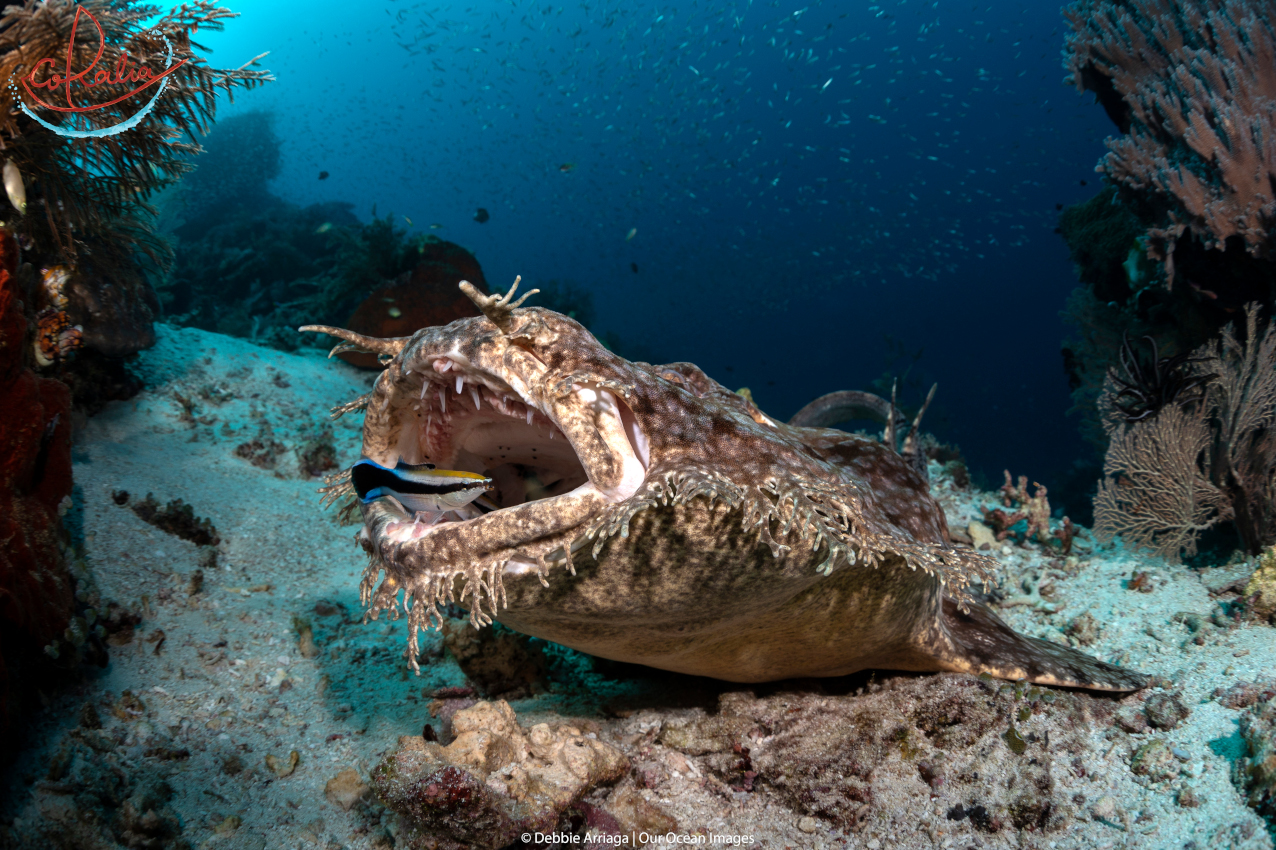 the Wobbegong shark is one of many marine life species that can be observed at a cleaning station