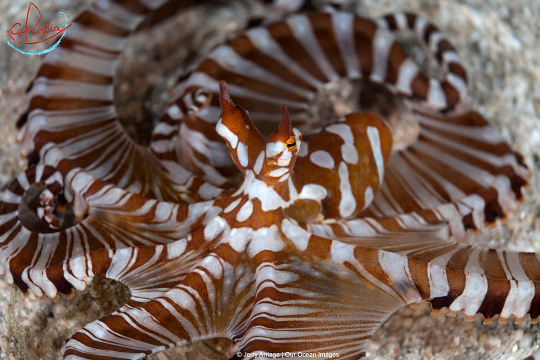 the brown and white striped wunderpus octopus in Indonesia