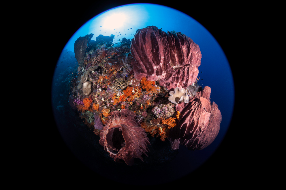 Barrel Sponges underwater at Banda and Forgotten Islands while scuba diving with Coralia Liveaboard Indonesia