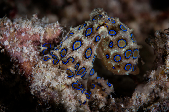 A Blue Ringed Octopus in Raja Ampat spotted with Coralia Liveaboard Indonesia