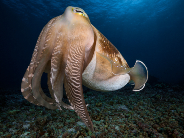 Broadclub Cuttlefish at Komodo Coralia Liveaboard Indonesia