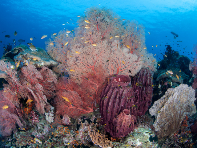 Pink Soft Corals and Seafans Underwater in Raja Ampat Indonesia