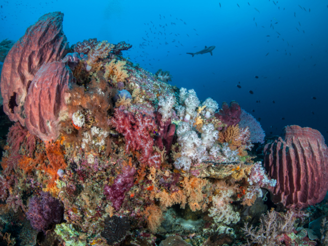 Colorful Corals with Shark in the background at Banda and Forgotten Islands in Indonesia