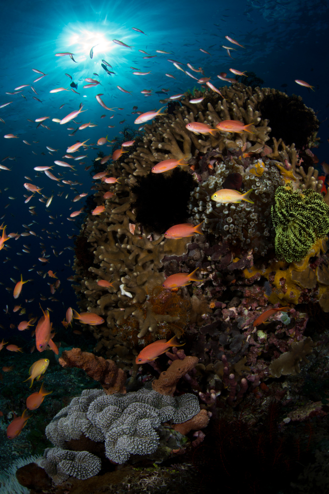 coral reef and fishes in Alor Indonesia visited by Coralia Liveaboard