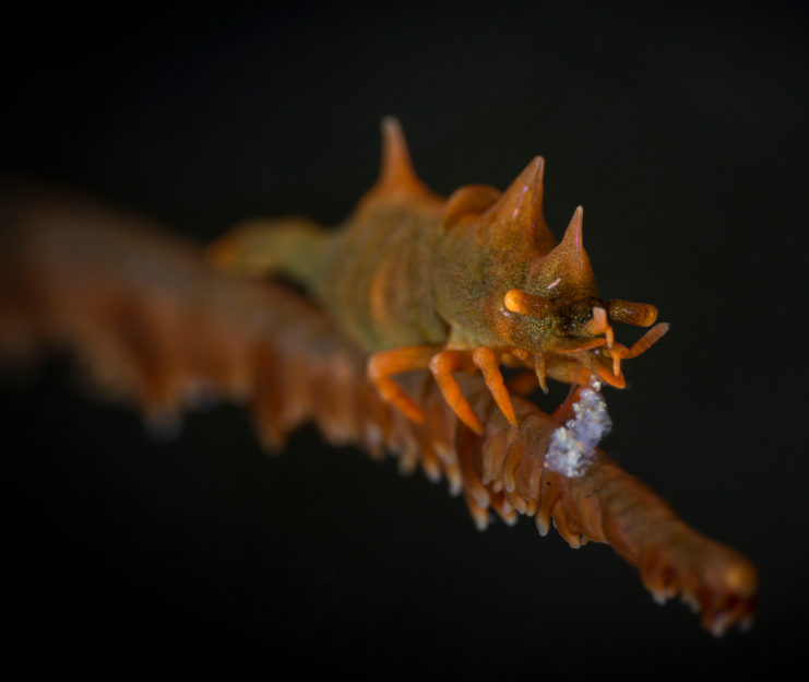 Dragon Shrimp spotted at Forgotten Islands while scuba diving Coralia Liveaboard Indonesia