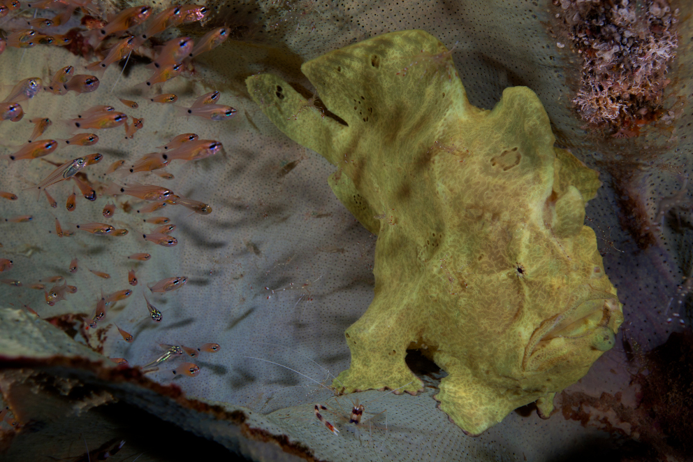 A yellow Giant Frogfish at Banda and Forgotten Islands encountered while scuba diving with Coralia Liveaboard Indonesia