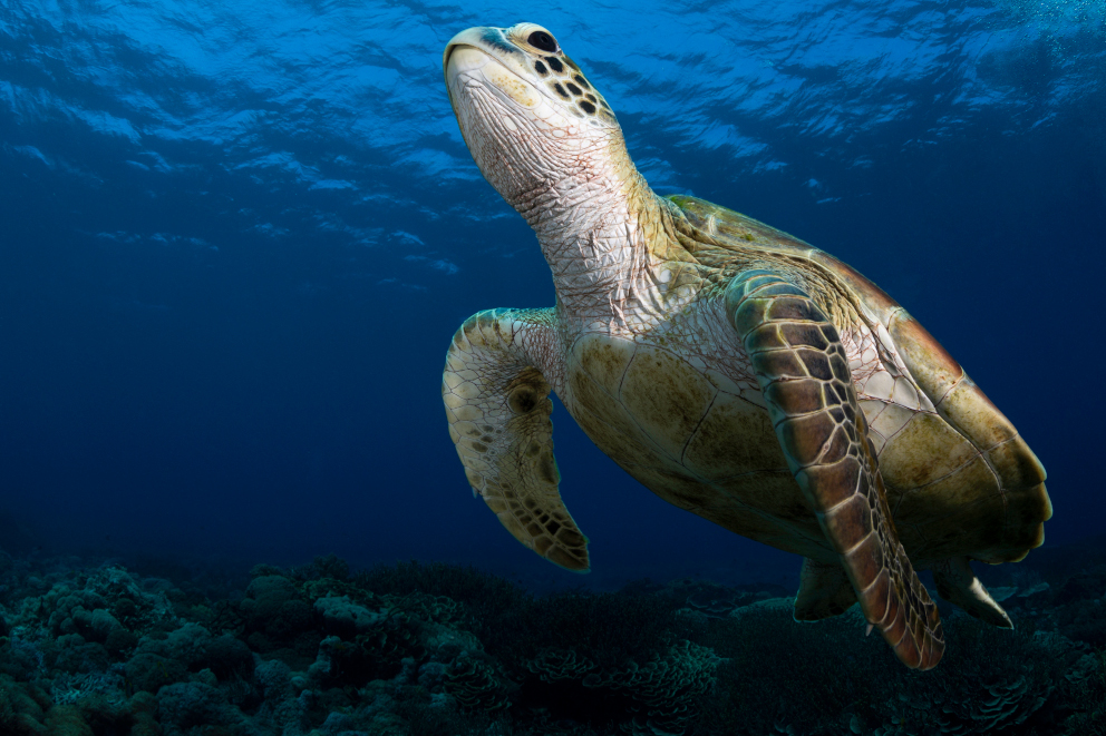 Green Turtle encountered underwater while scuba diving at Komodo National Park in Indonesia