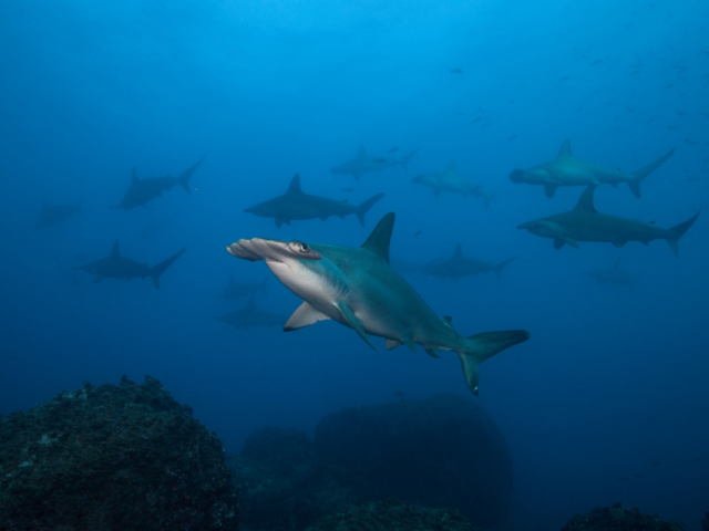 Several Hammerhead sharks at Banda and Forgotten Islands while scuba daving with Coralia Liveaboard Indonesia