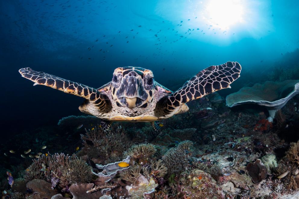 Hawksbill Turtle facing the camera underwater in Raja Ampat Indonesia