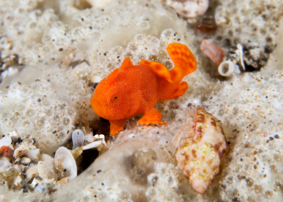 An orange juvenile frogfish in Alor in Indonesia