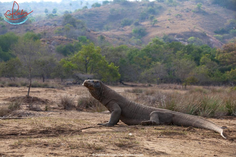 Komodo dragon on Rinca Island in Komodo with Coralia Liveaboard in Indonesia