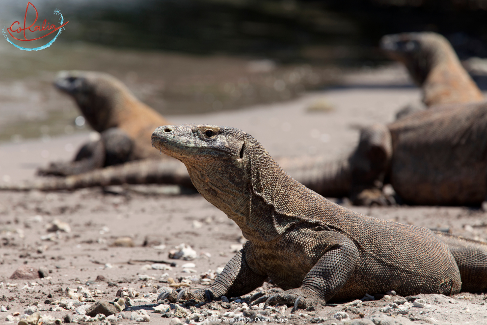 Komodo dragons on the beach on Rinca Island in Komodo with Coralia Liveaboard in Indonesia