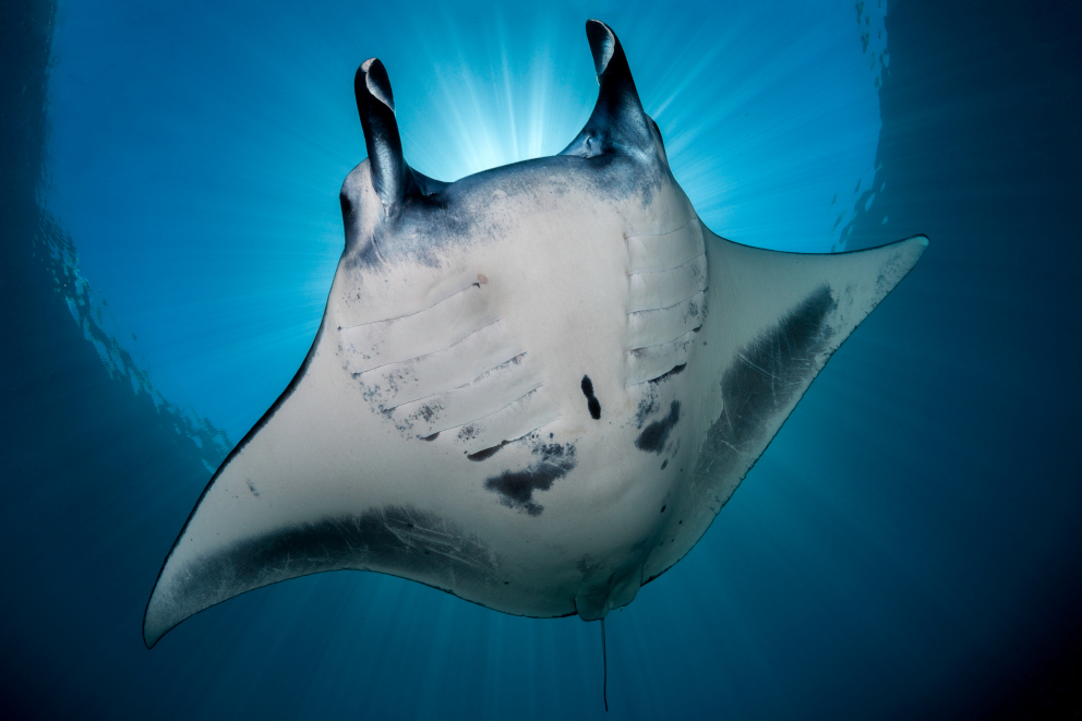 A Manta Ray from below spotted while scuba diving at Komodo National Park with Coralia Liveaboard in Indonesia