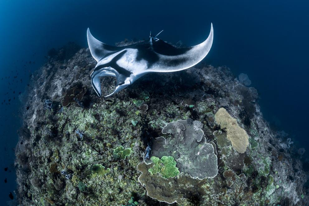 Manta ray in Raja Ampat Coralia Liveaboard Indonesia