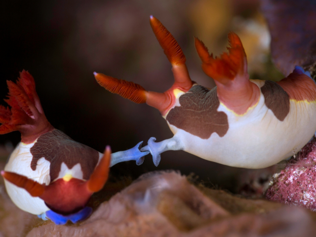 Mating nudibranchs in Alor Coralia Liveaboard Indonesia