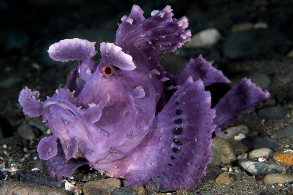 A purple paddleflap scorpionfish underwater at Banda and Forgotten Islands in Indonesia