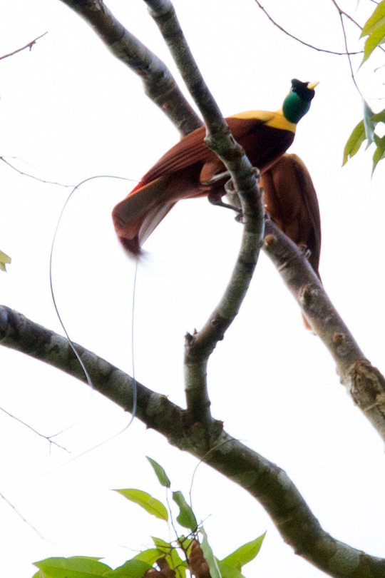 The endemic Red Bird of Paradise in Raja Ampat