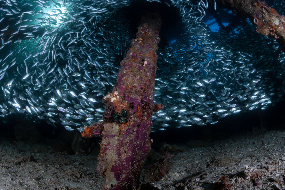 A large School of Scads sheltering below a jetty in Raja Ampat Indonesia