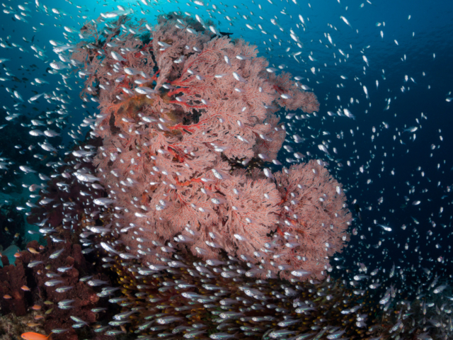 A pink seafan surrounded by fish at Komodo National Park in Indonesia