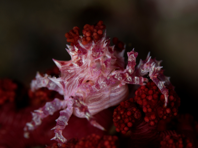 Soft Coral Crab in Alor Indonesia