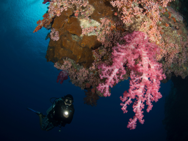Pink Soft Corals and a scuba diver at Banda and Forgotten Islands in Indonesia