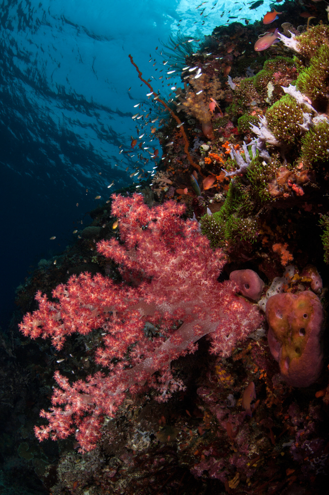 a colorful reef with soft corals in Alor Indonesia