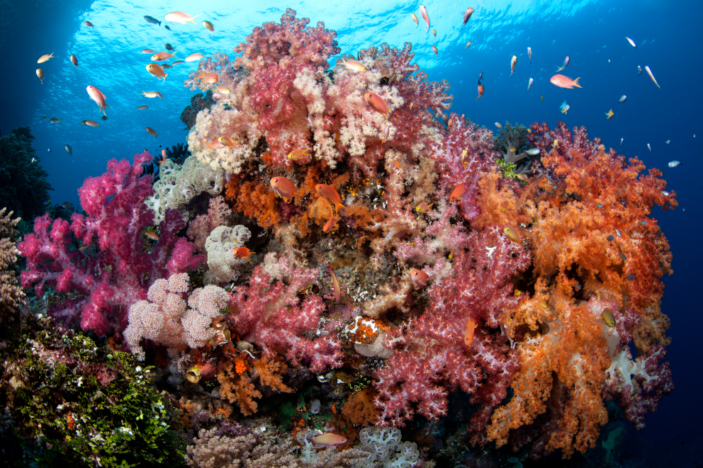 Colorful Soft Corals in Raja Ampat Indonesia