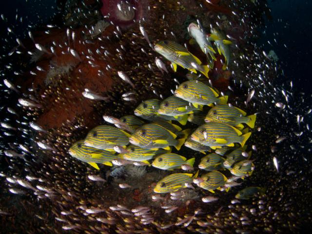 Ribbon Sweetlips at Otdima Reef in Raja Ampat