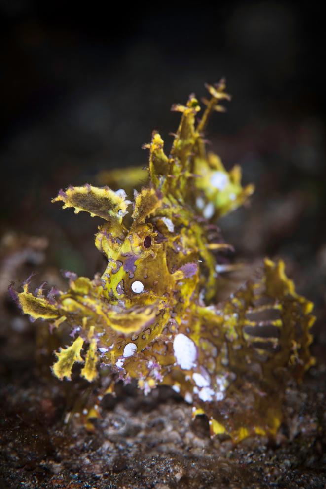 Weedy Scorpionfish in Alor Coralia Liveaboard Indonesia