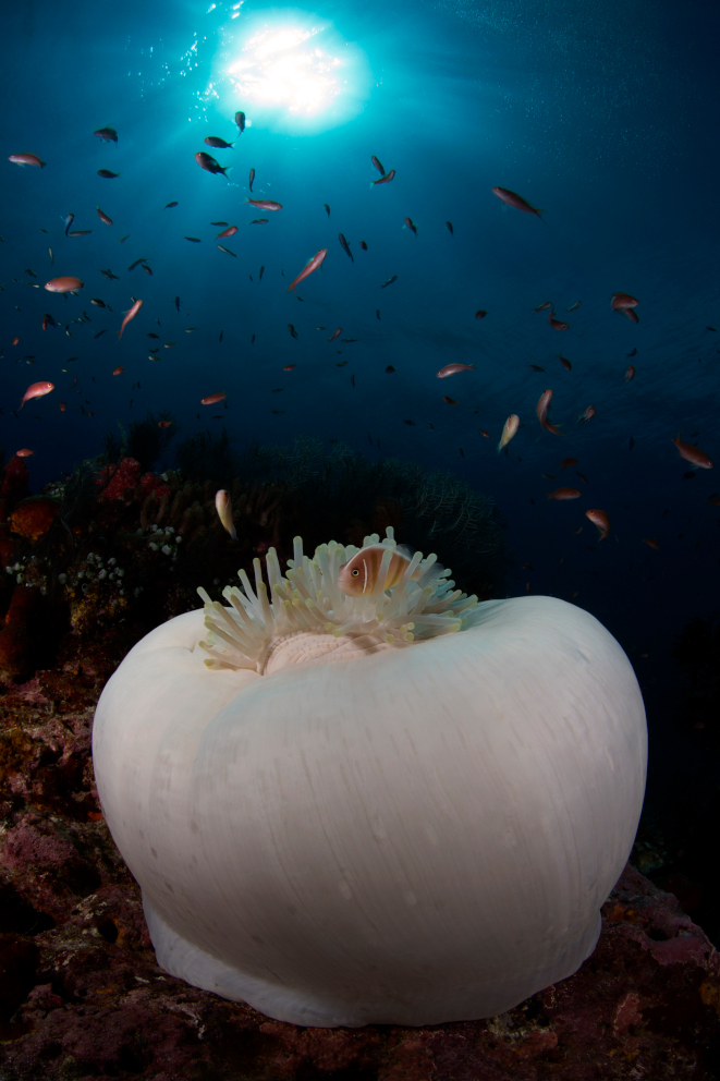 A white anemone spotted underwater in Alor with Coralia Liveaboard Indonesia