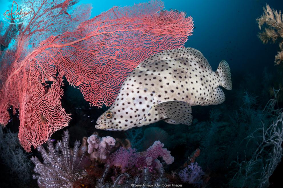 Adult barramundi cod with Coralia Liveaboard in Triton Bay in Indonesia