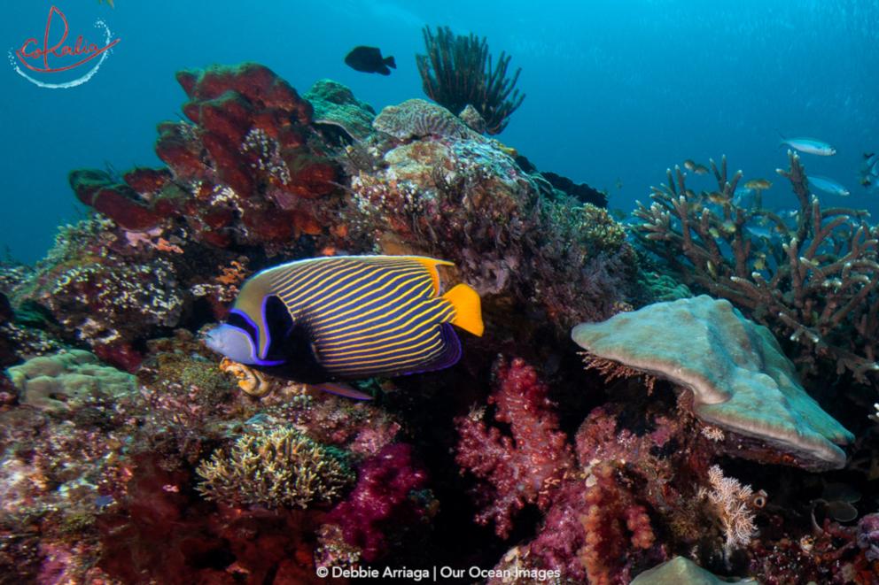 Adult emperor angelfish with Coralia Liveaboard in Raja Ampat in Indonesia