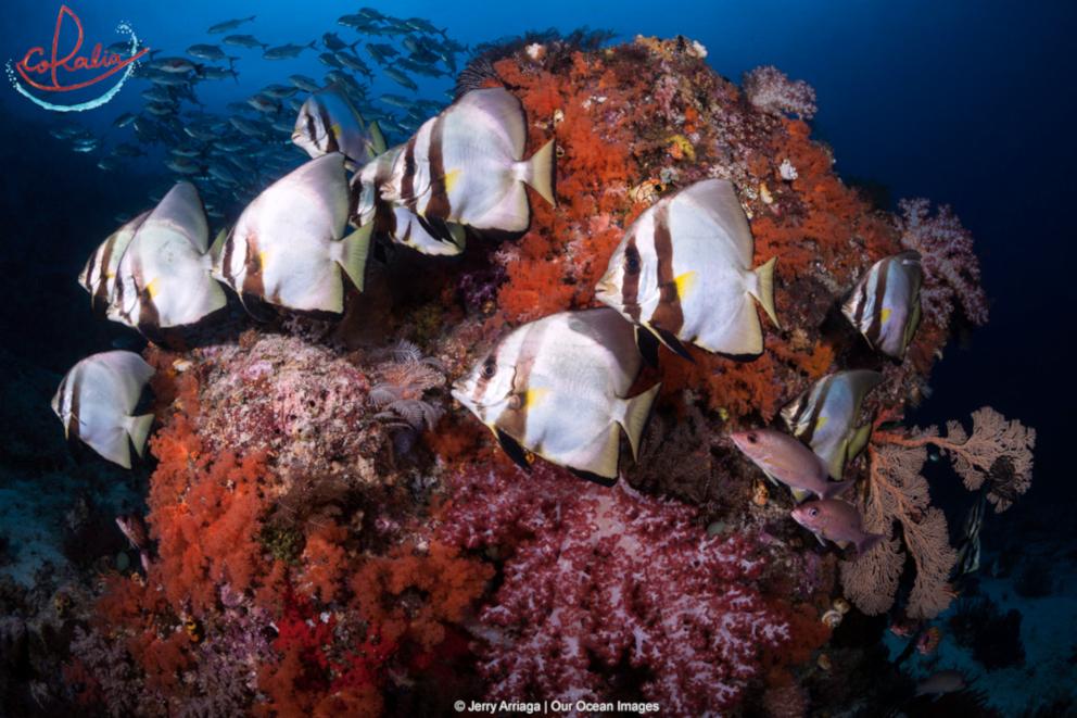 Adult pinnate batfish with Coralia Liveaboard in Raja Ampat in Indonesia