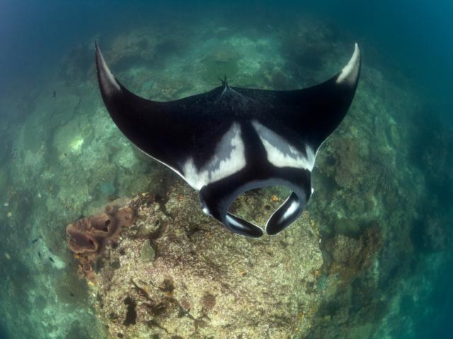 Black Manta Halmahera Coralia Liveaboard Indonesia