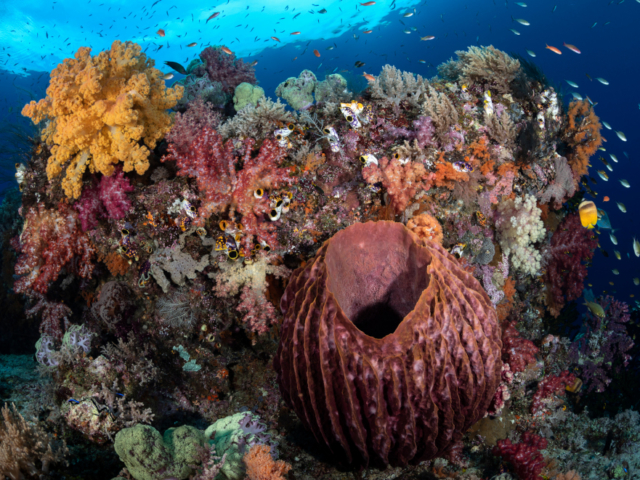 Colorful Coral Reef in Halmahera while scubadiving with Coralia Liveaboard in Indonesia