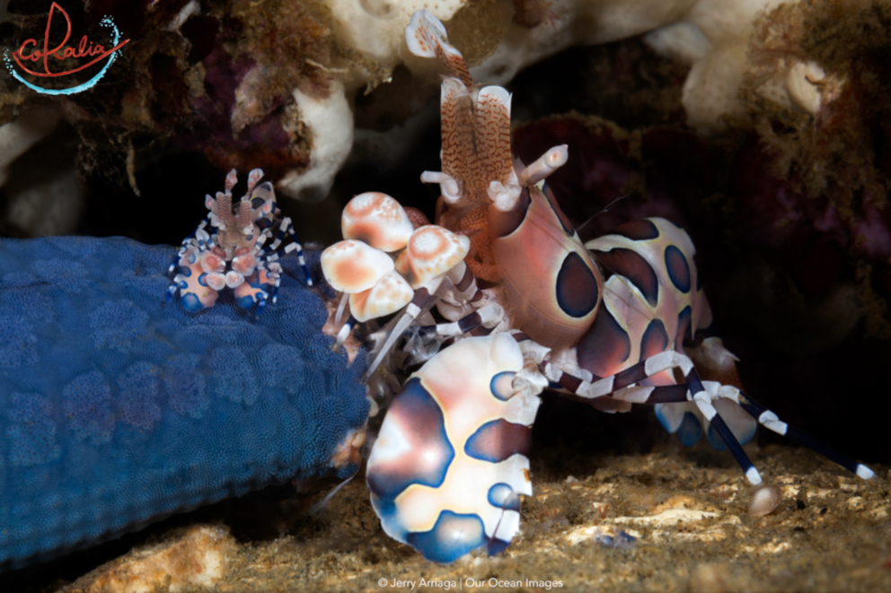 A large and a small Harlequin shrimp next to each other underwater
