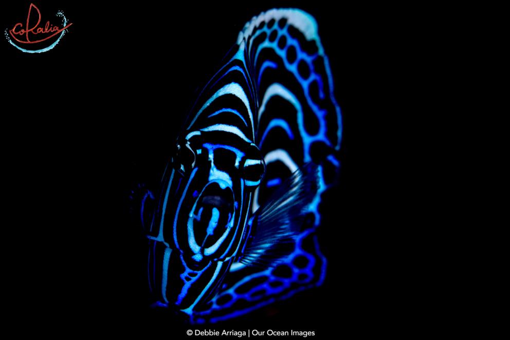 Juvenile emperor angel fish with Coralia Liveaboard in Raja Ampat in Indonesia