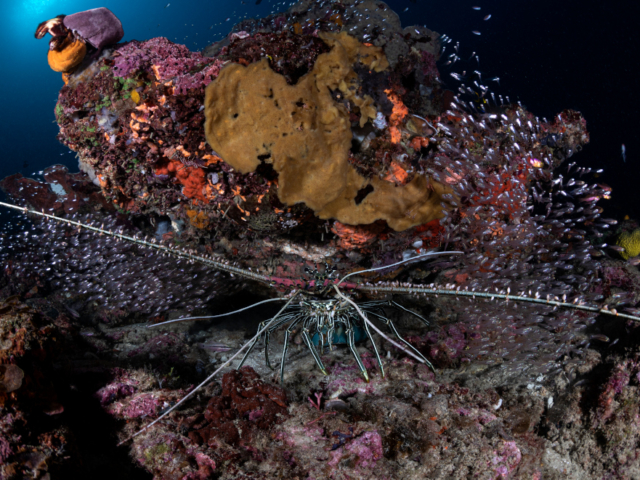 Lobster Halmahera Coralia Liveaboard Indonesia