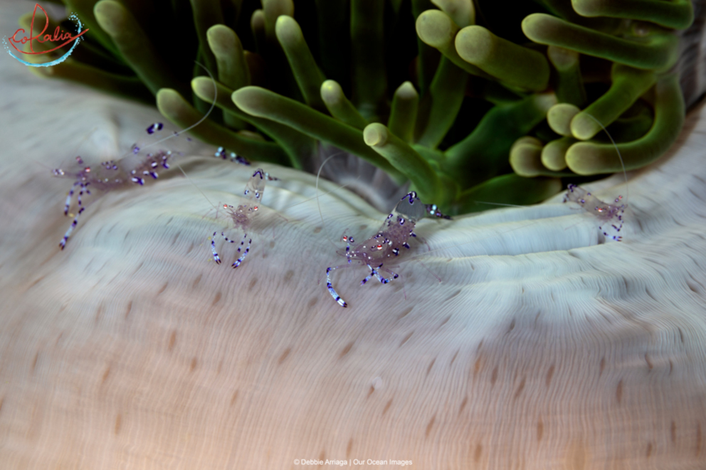 Sarasvati anemone shrimps in Indonesia with Coralia Liveaboard