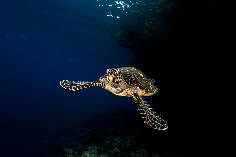 Turtle Halmahera Coralia Liveaboard Indonesia