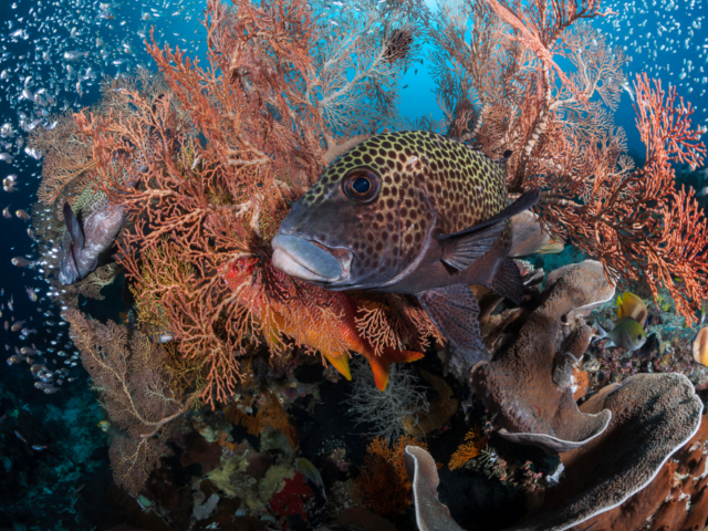 Adult stage of the harlequin sweetlips with Coralia Liveaboard in Raja Ampat in Indonesia