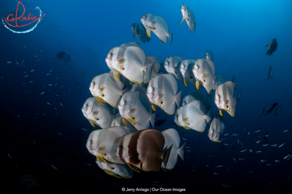 Batfish with different colourations in Raja Ampat with Coralia Liveaboard in Indonesia